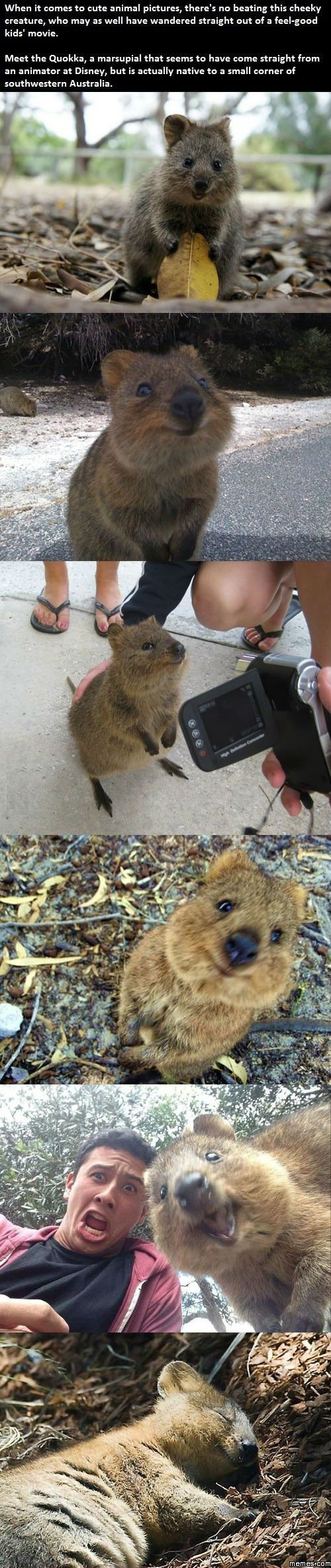 Quokka happiest animal in the world