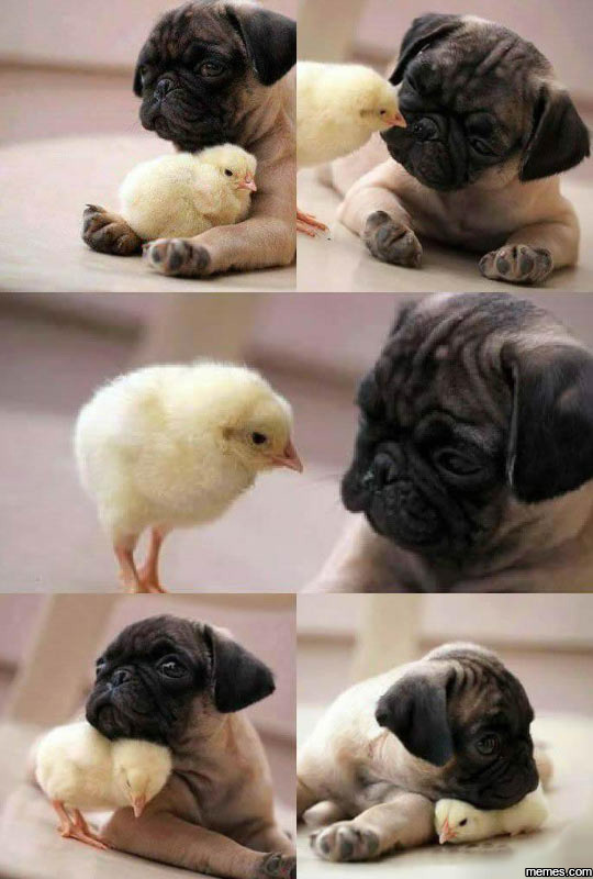 Pug And Chicken
