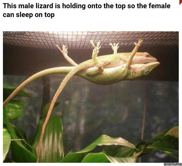 This male lizard, definition of true love